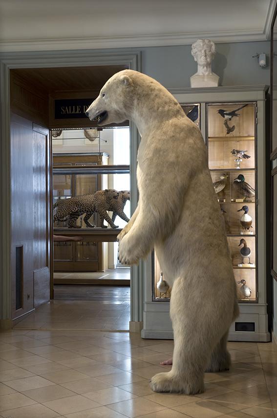 Ours blanc d'Alaska naturalisé (vers 1960), vitrine de rapaces, de passereaux et de palmipèdes naturalisés, Carole, deux panthères d'Afrique naturalisées, Aude. Musée de la Chasse et de la Nature. 2012